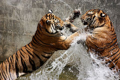 Tiger Battle Stock Photography