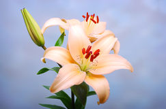Tiger lilly Royalty Free Stock Image