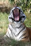 Tiger Teeth Stock Photography