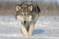 Timberwolf Lizenzfreies Stockbild