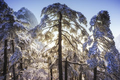 Tree branches covered by snow and ice Royalty Free Stock Images