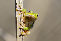 Tree frog on a reed Stock Photography