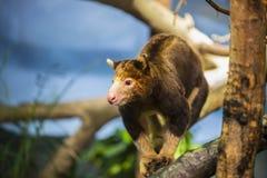 Tree Kangaroo Stock Photography