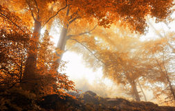 Trees in a scenic misty forest in autumn Stock Photo