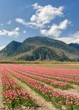 tulipano pieno di sole dei cieli del campo Immagine Stock