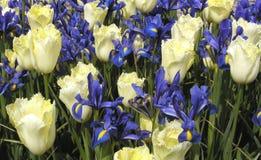 Tulips and Irises Stock Photos