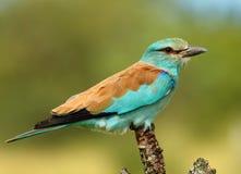 Turqoise bird Stock Photos