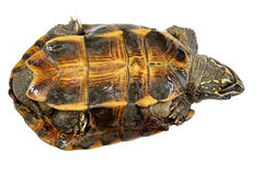 Turtle Turtle upside down, trying to turn over. Royalty Free Stock Photography