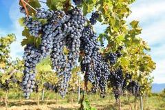 Tuscany wine grapes Royalty Free Stock Image