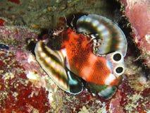 Tvilling- fläckLionfish Royaltyfria Bilder