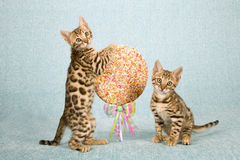 Two Bengal kittens with a huge lolly pop candy decorated with ribbon and bow Stock Photos