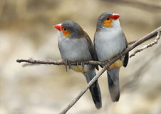 Two Birds Royalty Free Stock Image