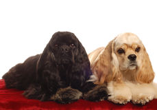 Two cocker spaniels Royalty Free Stock Image