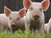 Two Cute Piglets Stock Photography