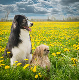 Two Dogs and Dandelions Royalty Free Stock Photos