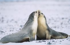 Two Fur seals bonding on beach Royalty Free Stock Photography