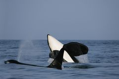 Two killer whale males Royalty Free Stock Photography