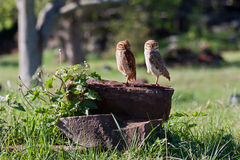 Two Owls on a Tree Stem Royalty Free Stock Photos