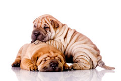 Two Shar Pei baby dogs Stock Photography