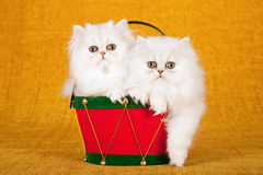 Two silver Chinchilla kittens sitting inside red Christmas drum on gold background Stock Photos