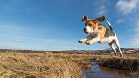 Un cane che salta sopra l'acqua Fotografia Stock Libera da Diritti