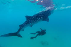 Underwater shoot of a gigantic whale sharks ( Rhincodon typus) Stock Photos