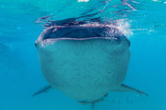 Underwater shoot of a gigantic whale sharks ( Rhincodon typus) Royalty Free Stock Photos