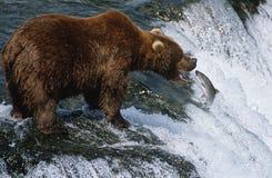 USA Alaska Katmai National Park Brown Bear catching Salmon in river side view Stock Image