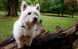Västra Skotska högländerna Terrier Royaltyfria Foton