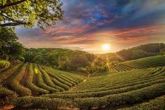 Vale da plantação de chá no céu cor-de-rosa dramático do por do sol em Taiwan Fotografia de Stock