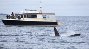 Valsafari på stödfartyget i den arktiska miljön Royaltyfria Bilder