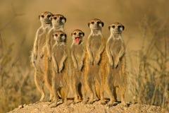 Van Suricate (meerkat) de familie   Stock Fotografie