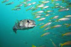 Vanligt porcupinefish Royaltyfri Foto