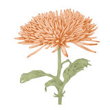 Vector chrysanthemum flower. Royalty Free Stock Photo