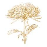 Vector chrysanthemum flower. Royalty Free Stock Images