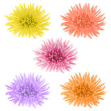 Vector chrysanthemum flower. Royalty Free Stock Photography
