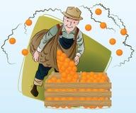 Vektorauf lagerabbildung Ernten Ein Mann sammelt Orangen Stockbilder
