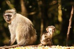 Vervet monkey Stock Photos