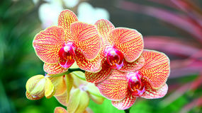 Vibrant Orchids Royalty Free Stock Image