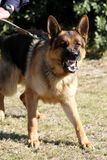 Vicious Police Dog Royalty Free Stock Photos