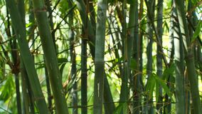Video of Bamboo 4k stock video footage