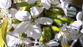 Video of plum tree flower stock footage