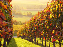 Vigna colorata Sunlit Immagine Stock