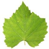 Vine leaf Royalty Free Stock Images