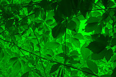 Vine leaves background Royalty Free Stock Photos