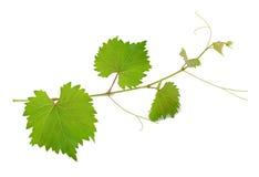 Vine leaves Stock Photo