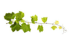 Vine leaves isolated on white Royalty Free Stock Photography