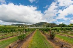 Vineyard in NSW, Australia Royalty Free Stock Photos