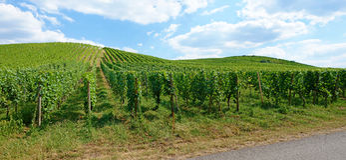 Vineyard panorama Royalty Free Stock Image