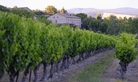 Vineyard in Provence Royalty Free Stock Photography